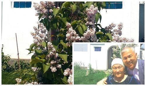 """Қызылордадағы үйде мамыргүл гүлдеді. Анаммен бірге! 7 мамыр!  Дома как всегда в мае расцвела сирень. На казахском называют """"мамыргүл"""" майский цветок. С мамой! Қызылорда 7 мая."""